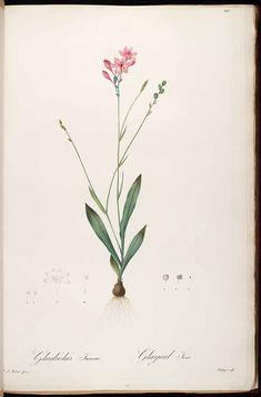 37300 Freesia verrucosa (B.Vogel) Goldblatt & J.C.Manning [as Gladiolus junceus L.f.] / Redouté, P.J., Les Liliacées, vol. 3: t. 141 (1805-1816) [P.J. Redouté]