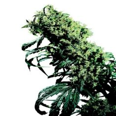 Northern Lights #5 X Haze has been bred by the famous seed breeder Sense Seeds. If anyone can afford it, then it is suggested that you can buy them directly from Sensi Seeds. #hempseedsforgrowing #growhemp