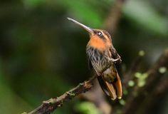 Foto beija-flor-rajado (Ramphodon naevius) por João Specian | Wiki Aves - A Enciclopédia das Aves do Brasil