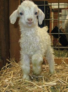 baby Pygora goat....they are a cross between Pygmy and Angora goats.  Too cute! http://www.hmrpygoras.com/Y077-HappyBaby3-27-08web.JPG