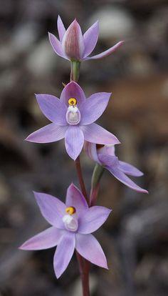 Thelymitra hybrid-| Flickr - Photo Sharing!