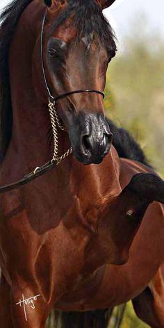 Arabian stallion prancing and pawing. Stunning and beautiful horse.