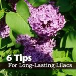 6 Tips for Long-Lasting Lilacs