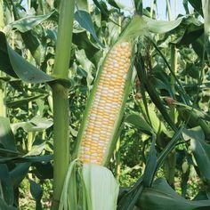 Xtra-Tender 2171 ORGANIC Corn Seeds (Zea mays) + FREE Bonus 6 Variety Seed Pack - a $30 Value!