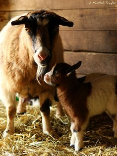Newborn fainting goat - Dinky has seen this happen with these goats and they actually do faint it is amazing to watch on u tube Barnyard Animals, Cute Baby Animals, Beautiful Creatures, Animals Beautiful, Fainting Goat, Amor Animal, Vegan Animals, Farm Yard, Cute Animal Pictures