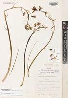Albuca xanthocodon