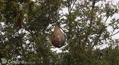 www.lamontagne.fr - A la Une - CHATEL-GUYON (63140) - Un énorme nid de frelons asiatiques neutralisé par les pompiers à Châtel-Guyon