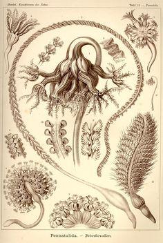 Ernst Haeckel  Pennatulida Plate19