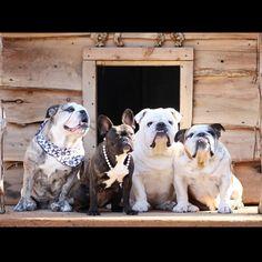 French & English Bulldogs, via Batpig & Me Tumble It