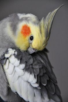 Preening Cockatiel   Flickr - Photo Sharing!