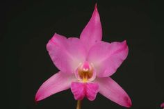 Laeliia furfuracea- - Orchid Forum by The Orchid Source