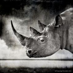 White Rhino by Ulf Amundsen - Photo 99722031 - 500px