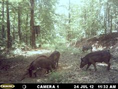 As you can see, the hogs have found the honey hole! They are starting to come to the food in greater numbers now! http://ithappensinalabama.com/hunting-fishing/