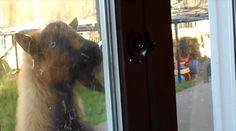 自力でドアノブを押して勝手に家の中に入ってくるヤギ - http://naniomo.com/archives/2781