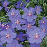 Anagillis 'Wildcat Blue' (photo courtesy of Proven Winners)