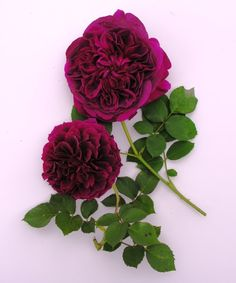 Tips for Photographing Roses via: pieceofeden.blogspot.com
