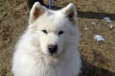 URGENT - Staten Island Center    WARLOCK - A0992413   NEUTERED MALE, WHITE, SAMOYED MIX, 7 yrs  OWNER SUR - AVAILABLE, NO HOLD Reason TOO ACTIVE   Intake condition GERIATRIC Intake Date 02/24/2014, From NY 10306, DueOut Date 02/27/2014 ORIGINAL THREAD : https://www.facebook.com/photo.php?fbid=763035130376035&set=a.617941078218775.1073741869.152876678058553&type=3&theater