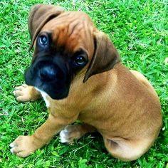 boxer puppy, so precious!!!