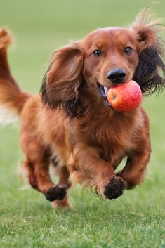 Happy #dachshund dog playing with an apple outdoors