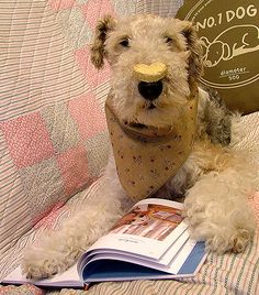 Wire Fox Terrier IVY