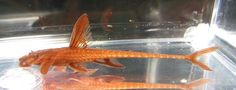 L010a Red Lizard Whiptail Catfish Live Freshwater Aquarium Fish - $20 ☆  Redo a search on Ebay for it.