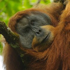 Photo by @TimLaman. Outtake from my upcoming @NatGeo story on Wild Orangutans and their plight. An adult male Sumatran Orangutan taking a mid-day rest in the Batang Toru Forest of Sumatra.  Sumatran orangutans are the most threatened of the two orangutan species with less than 7000 remaining in the wild!  #EndangeredSpecies #orangutan #Sumatra #Indonesia @thephotosociety @natgeocreative. by natgeotravel
