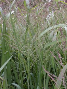 'Dallas Blues' Switchgrass (Panicum virgatum 'Dallas Blues') It typically grows to 5' tall.