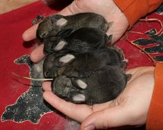 baby Holland Lops