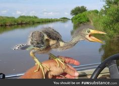 Ever wondered what happened to dinosaurs? This is a baby Blue Heron
