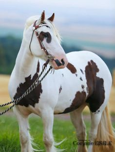 Gypsy Vanner horse. Such a pretty horse.