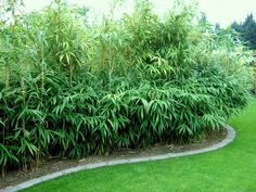 Pfeilbambus Hecke Pseudosasa japonica