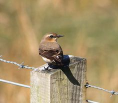 Northern Wheatear on the fence outside carters