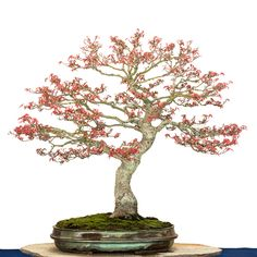 Acer palmatum Seigen bonsai tree