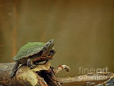 A red ear slider turtle on a log