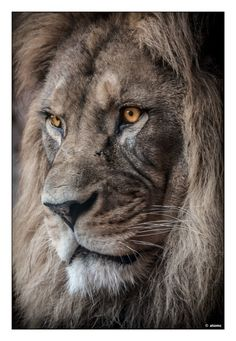 The amazing face of a leader. Lion Images, Lion Pictures, Lion And Lioness, Lion Of Judah, Amazing Animals, Animals Beautiful, Nature Animals, Animals And Pets, Lion Photography