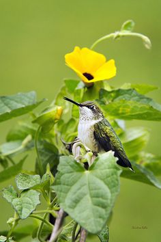 Emerald Garden Hummingbird by Christina Rollo. Beautiful immature male Ruby-Throated Hummingbird with bright iridescent green feathers perched on a vine with green leaves and yellow flower.