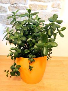 Je to léčivka a přitahuje prosperitu. Bonsai, Planter Pots, Flora, Garden, Nature, Diy, Haha, Garten, Naturaleza