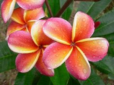 Plumeria! Loved making leis out of these flowers  and smelling them in the air every day when I lived in Hawaii!