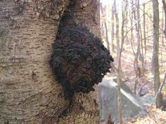 Chaga Mushroom Benefits Inhibits Tumor Growth - Powerful Superfood.
