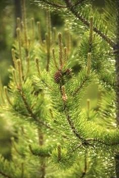 What to plant under pine trees. Must thrive in shade and acidic soil - Laurel   Jupiterimages/Comstock/Getty Images