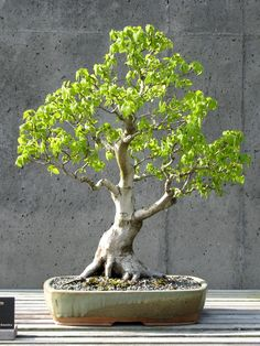 American Hornbeam Bonsai, Informal Upright Style (Moyogi). #bonsai