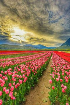 Beautiful Nature Pictures, Beautiful Landscapes, Beautiful World, Beautiful Gardens, Beautiful Flowers, Beautiful Places, Tulips Garden, Tulips Flowers, All Nature