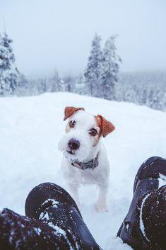 Jack russel puppy winter portrait photography.