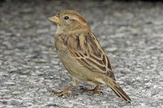 Image result for english female sparrows images