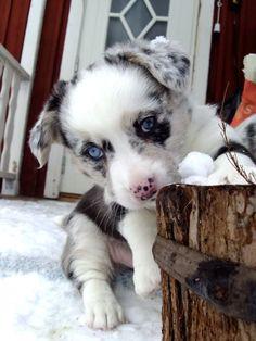 Blue Merle border collie