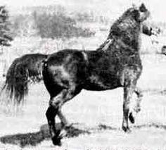 Ethan Allen, uno de los sementales sobre los que se fundó la raza American Morgan Horse