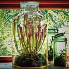 Create A Fascinating Carnivorous Terrarium - Container Water Gardens Terrarium Containers, Mini Terrarium, Terrarium Plants, Orchid Terrarium, Bottle Terrarium, Terrarium Ideas, Cactus Plants, Bog Garden, Garden Plants