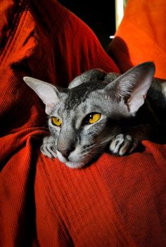 oriental modern shorthair. I love the bold burnt orange color and this beautiful grey cat.