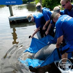 Discarded crab traps are a pollution problem for manatees. Thankfully for this gentle giant, SeaWorld rescuers were able to free him from the lines and return him the very same day. #365DaysOfRescue