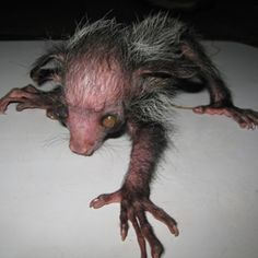 Aye-aye kindof ugly but its part of the prosimian family ( go to college to study all primates even this guy)